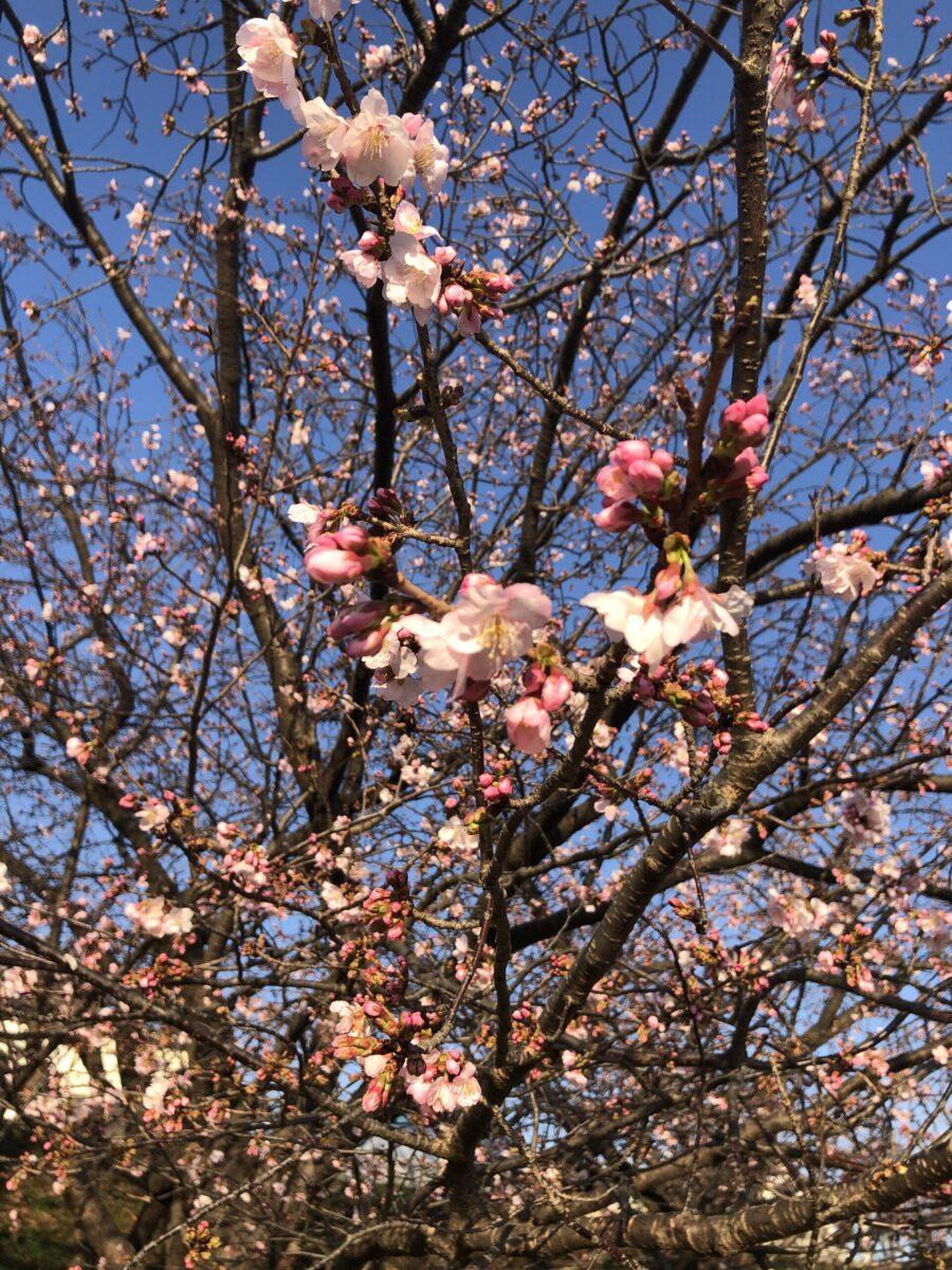 多摩川沿いの桜