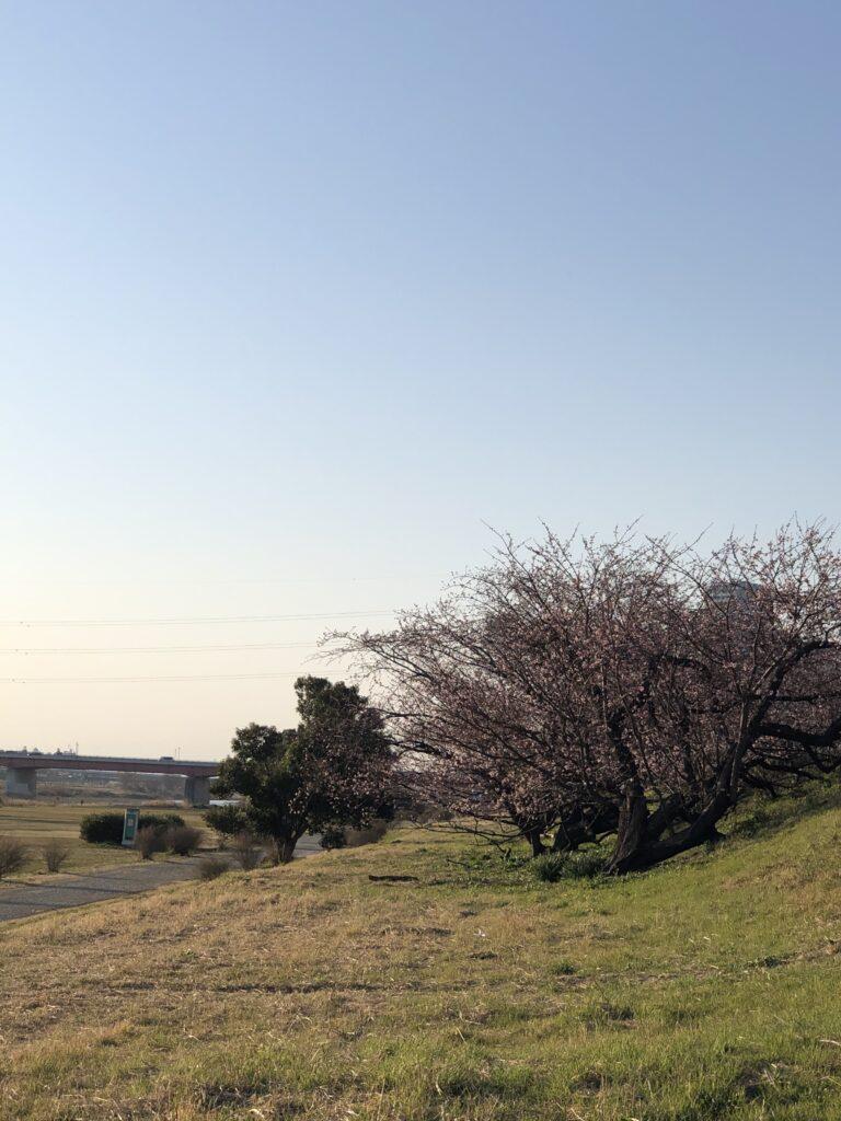 多摩川沿いの桜並木